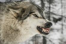 آغاز حمله گرگ های گرسنه در همدان