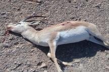 کشف لاشه آهو در مهریز  شکارچیان متواری شدند