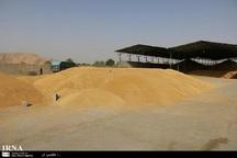 120هزار تن گندم از کشاورزان بوکانی خریداری می شود