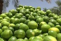 4500 تن لیمو ترش از باغ های سیستان و بلوچستان برداشت شد