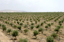 وعده آب به زیتونکاران طارم سفلی 10 ساله شد  تخصیص از وزارت نیرو، تاخیر از جهاد کشاورزی