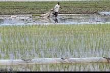 مبارزه بیولوژیک با آفات در شالیزارهای گیلان انجام می شود