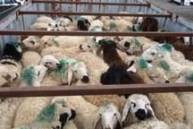 150راس گوسفند قاچاق در کوهدشت کشف شد