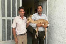 بره میش زخمی به محیط زیست عنبرآباد تحویل داده شد