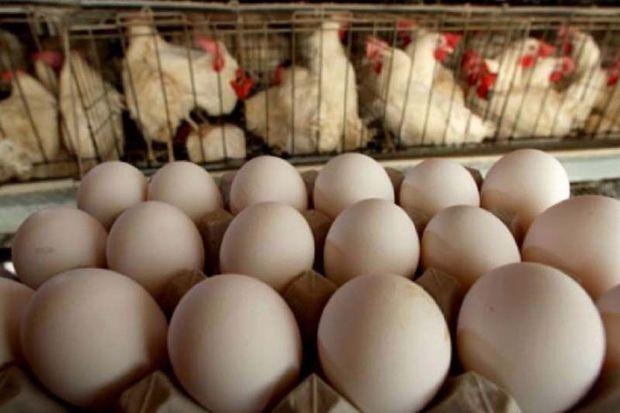 صادرات تخم مرغ از استان مرکزی ۱۰۰ درصد افزایش یافت