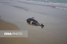 لاشه یک دلفین در ساحل جاسک پیدا شد