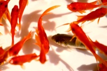 ماهی قرمز را در رودخانه ها و سدها رها نکنید