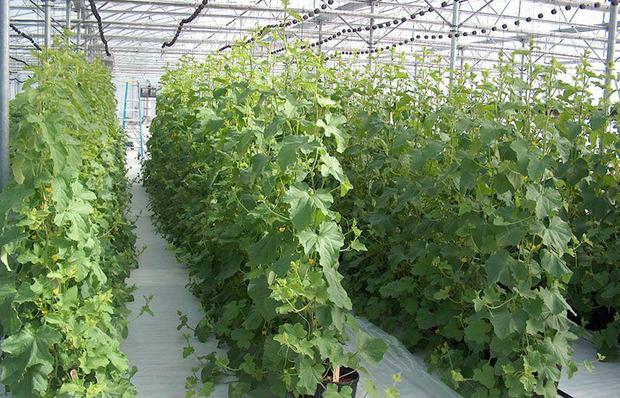 برداشت خیار گلخانه ای در ایرانشهر از مرز پنج هزار تن گذشت