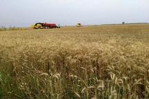 محصول یکهزار و 500 هکتار گندمزار خرمشهر خسارت دید