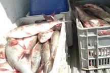 یک هزار کیلوگرم ماهی قاچاق در دشت آزادگان کشف شد