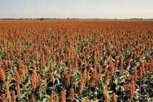 پیشبینی تولید بیش از ۵۰۰ تن بذر سورگوم در استان اردبیل