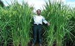 پرورش برنج ۲ متری توسط دانشمندان چینی!