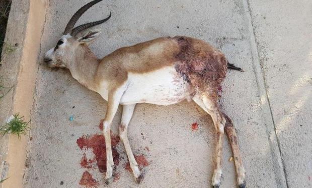 یک راس آهو بر اثر تصادف در محور یزد-کرمان تلف شد
