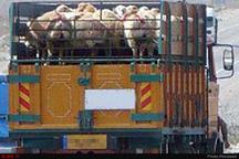 کشف ۱۱۳ راس گاو و گوسفند قاچاق در زنجان
