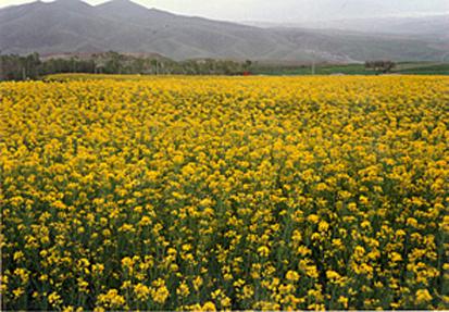 آغاز برداشت محصول کلزا از 400 هکتار اراضی کشاورزی