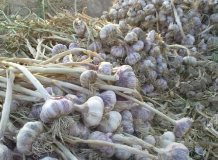 پیش بینی برداشت 700 تن محصول سیر از مزارع بشاگرد