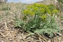 14تن شیرابه گیاهان دارویی در کهگیلویه و بویراحمد برداشت شد