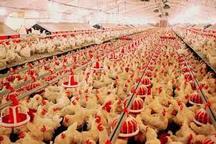 278 واحد از مرغداریهای استان اردبیل از گاز شهری  برخوردار هستند