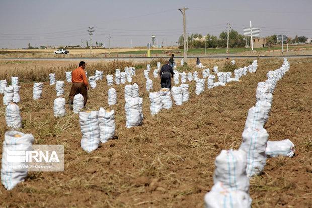 ۱۵ هزار تن سیبزمینی در چهارمحال و بختیاری ذخیرهسازی شد