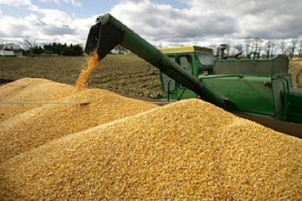 گندم در استان اردبیل 16 هزار ریال خریداری می شود