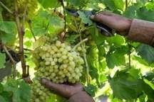 جشنواره برداشت انگور در خرمدره برگزار می شود