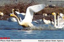کوچ حدود یک میلیون پرنده مهاجر به تالابهای مازندران