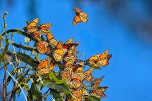 حضور پروانه ها در مزارع استان مرکزی خسارتی ندارند