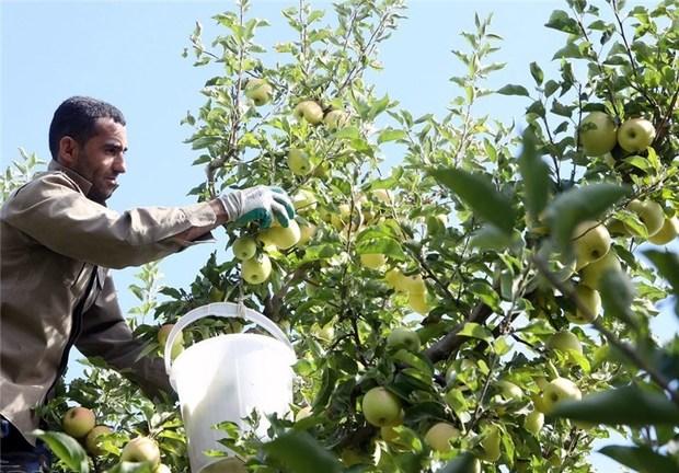 سیب اشنویه به روسیه صادر می شود