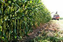 586 هزار تن ذرت امسال در قزوین تولید می شود