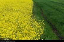 افزایش بیش از ۲ برابری کشت دانه های روغنی در قزوین