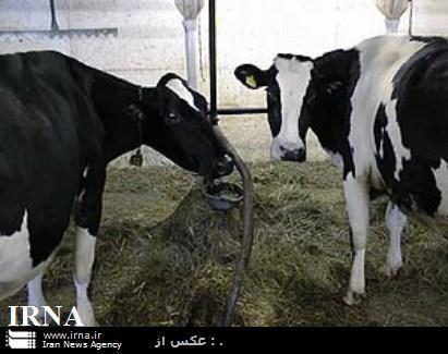 ساماندهی فعالیت دامداری و گلخانه های اشکذر  برنامه ریزی برای ارتقاءکیفیت شیر