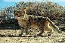 کویر سیستان و بلوچستان میزبان گربهسان کمیاب ایران