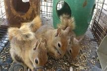 سه بطانه سنجاب در طبیعت ارومیه رهاسازی شد