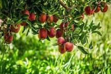 کود دهی تزریقی در باغات سیب بروجن آغاز شد