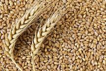 25 هزار و 500 تن گندم از کردستان به خارج کشور صادر شد