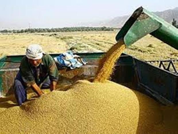 خرید  تضمینی گندم در چهارمحال و بختیاری آغاز شد
