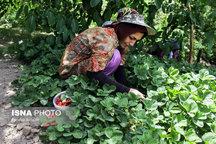پیش بینی تولید 160تن توت فرنگی از مزارع سردشت