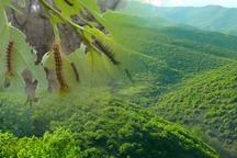 جوانه خوار از جنگل های زاگرسی دست بردار نیست