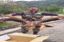 تیمار و رها سازی  عقاب شاهی در طبیعت لنگرود