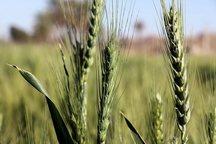50 نوع بیماری گندم در کشور شناسایی شد
