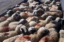 دام عشایر خراسان شمالی در دیگراستان ها کشتار می شود