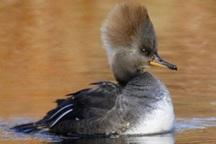 اردک تاجدار برای نخستین بار در نیشابور مشاهده شد
