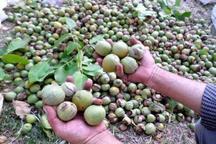 برداشت گردو از سطح 2 هزار و 500 هکتار از باغات سروآباد آغاز شد