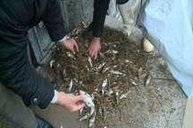 سیل30 تن ماهی قزل آلا را  در مشگین شهر تلف شد