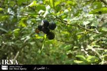 عرضه میوه های جنگلی مازندران با برچسب میوه خارجی