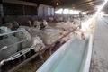 مرکز اصلاح نژاد گوسفند و بز در شهرستان ورامین افتتاح شد