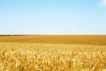 100 هزار تن گندم در اردبیل خریداری شد