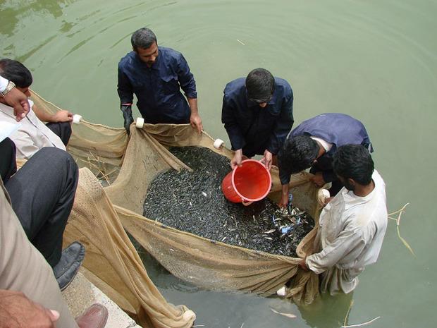 سیستان و بلوچستان قطب تامین بچه ماهی شرق کشور می شود