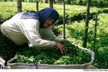 آغاز چین سوم برگ سبز باغات چای کشور از چند روز دیگر