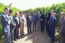 پنج هزار هکتار از باغهای انگور استان قزوین داربستی شده است